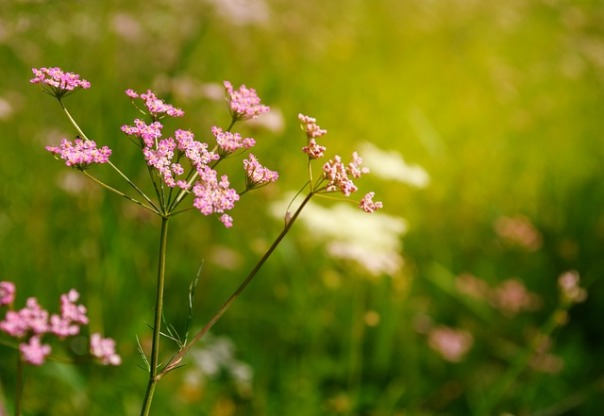 Pink Yarrow Feature